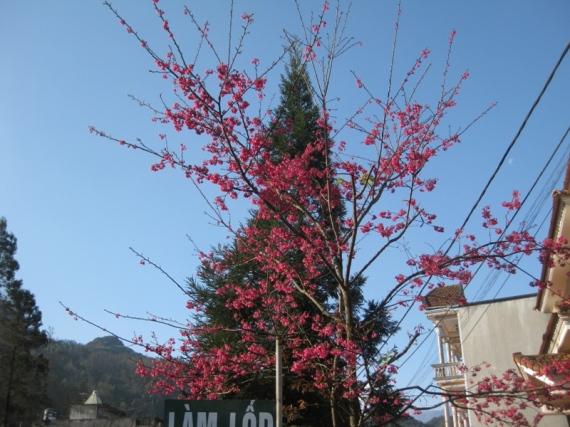 Hoa cay canh Sapa 048