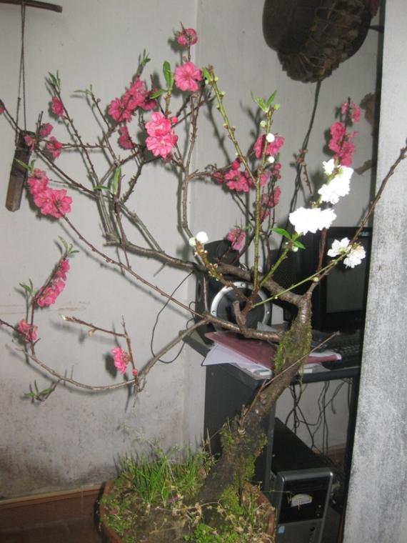 Hoa cay canh Sapa tet 2013 027