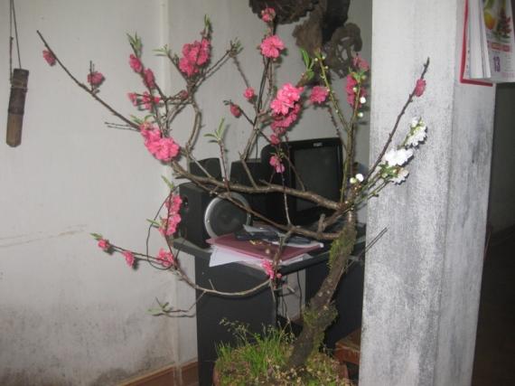 Hoa cay canh Sapa tet 2013 028