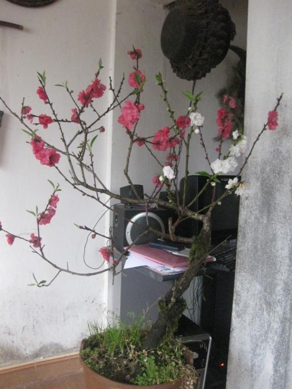 Hoa cay canh Sapa tet 2013 029