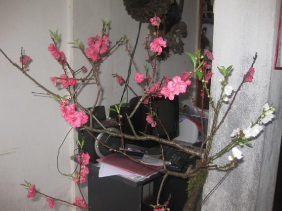 Hoa cay canh Sapa tet 2013 043