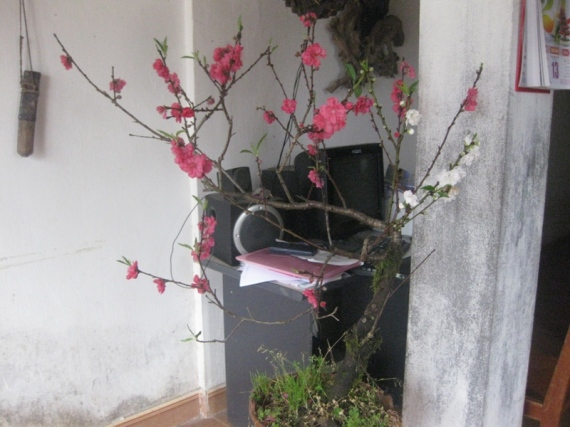 Hoa cay canh Sapa tet 2013 044