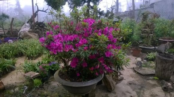 Hoa đỗ quyên tím trong chậu sành