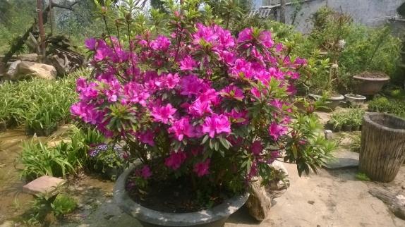 Dịu dàng sắc xuân-hoa đỗ quyên Sapa