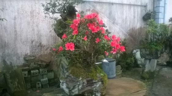 Ươm hoa đỗ quyên trong lũa Pơ-mu