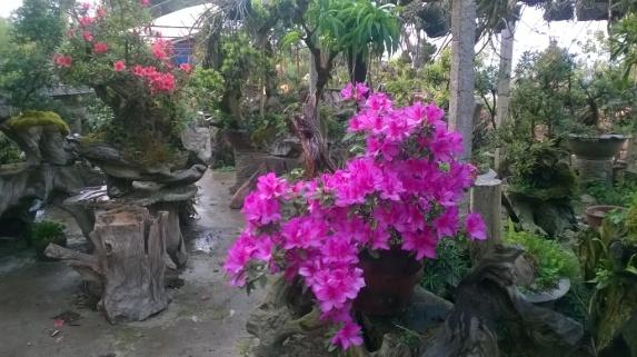 Vườn hoa đỗ quyên