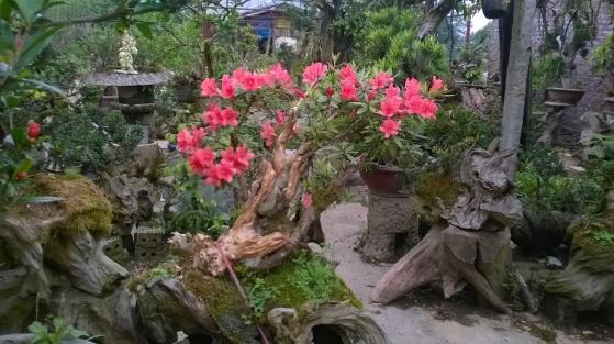 Vườn ươm hoa đỗ quyên