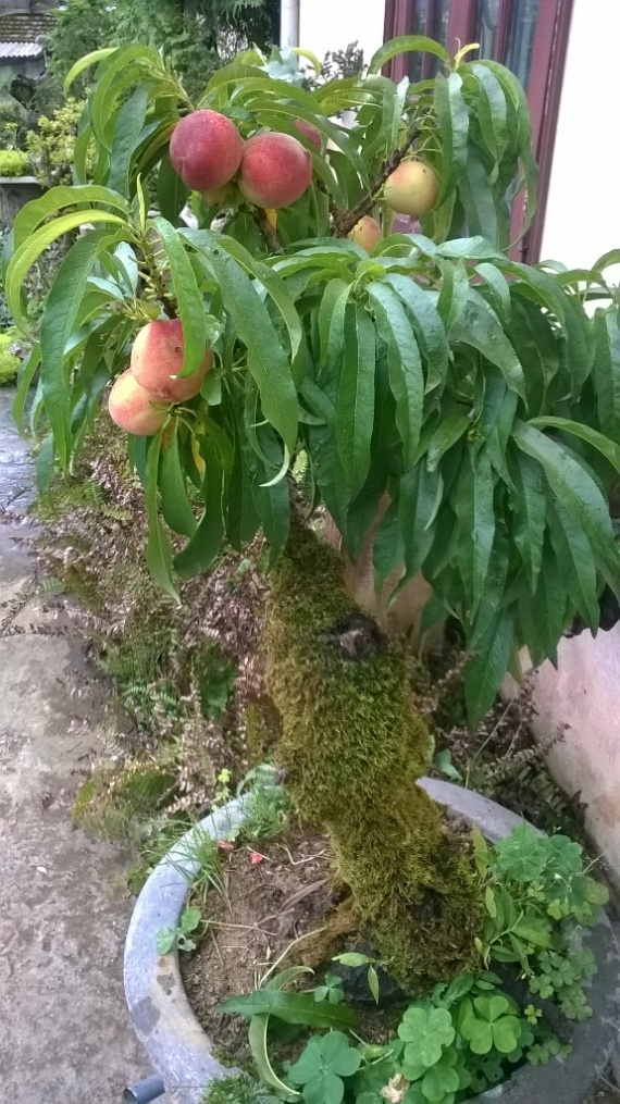 Cây đào bonsai.