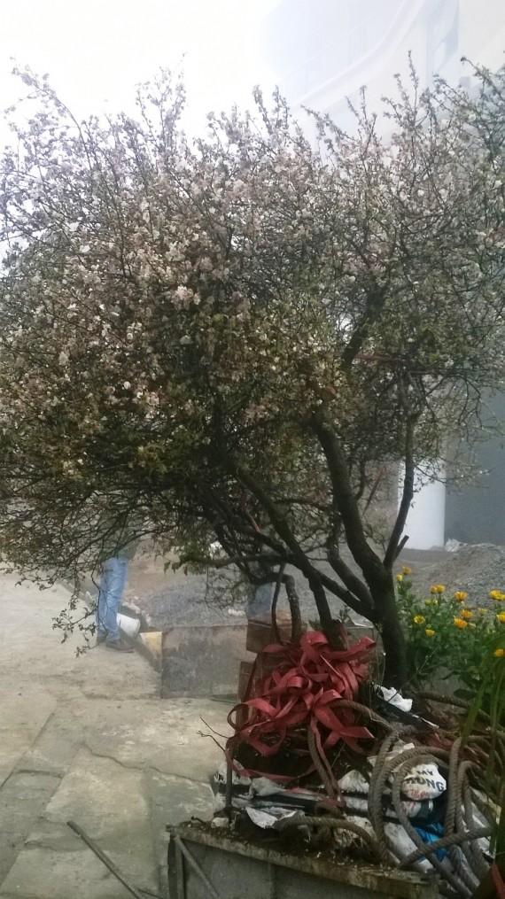 Hoa mai trắng miền bắc ( Sapa-Lào cai)